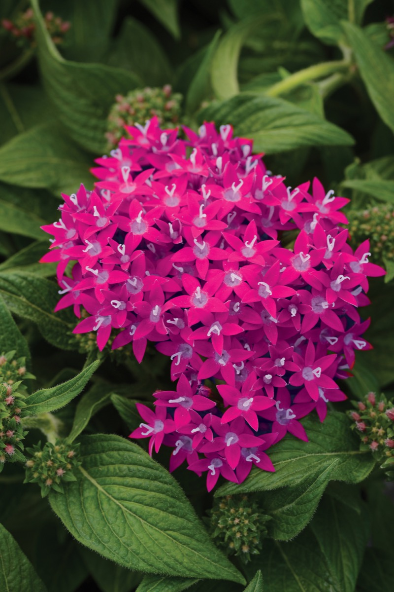 Pentas Lucky Star Raspberry Bloom Flower
