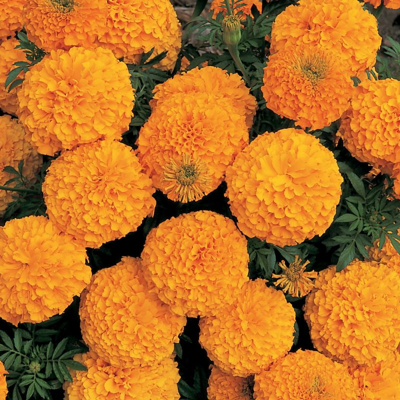 Marigold Big Bloom Orange