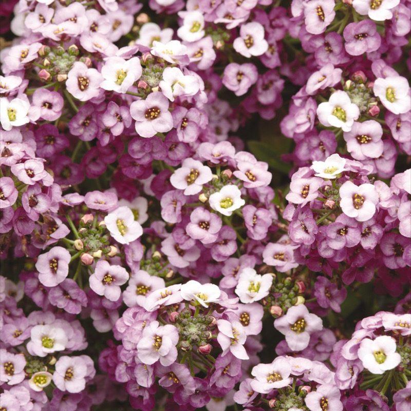 Alyssum Purple