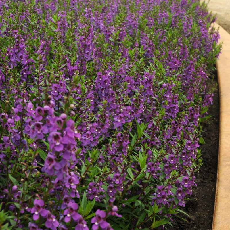 Angelonia Serena Purple Landscape
