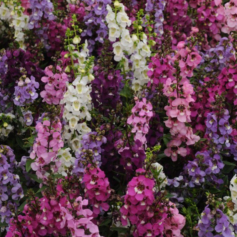 Angelonia Serenita Mix Bloom 9386