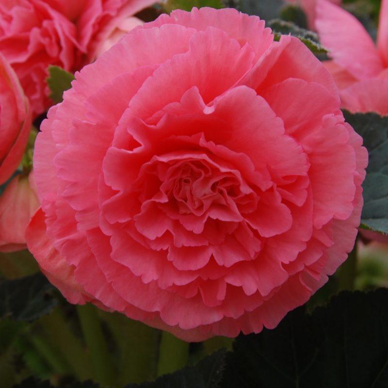 Fancy Begonia (Tuberous) Pink