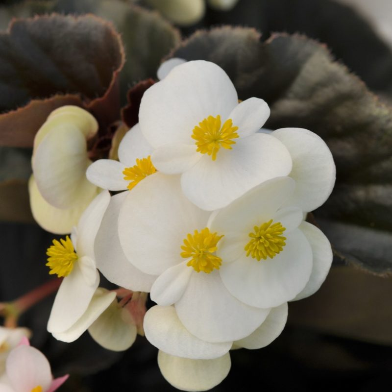 Begonia Baby Wing White Bronze Leaf Bloom 2348