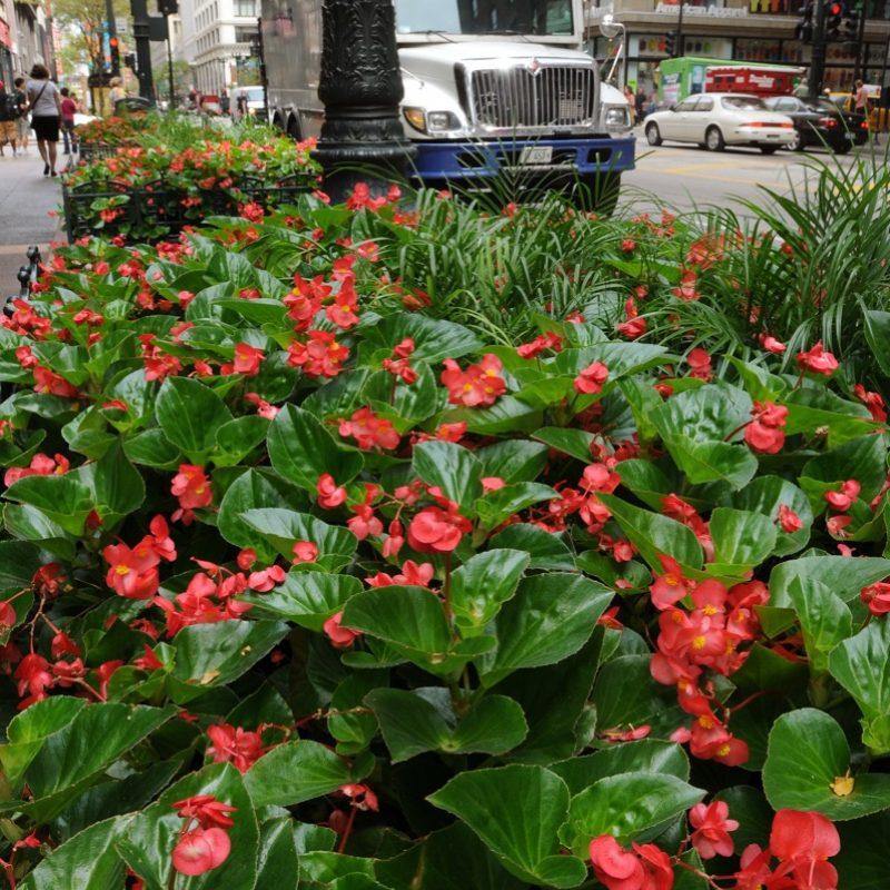 Begonia Dragon Wing Red Landscape 23601