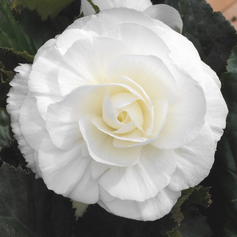 Fancy Begonia (Tuberous) White