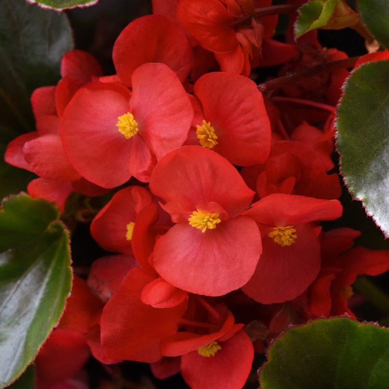 Begonia (Green Leaf) Red