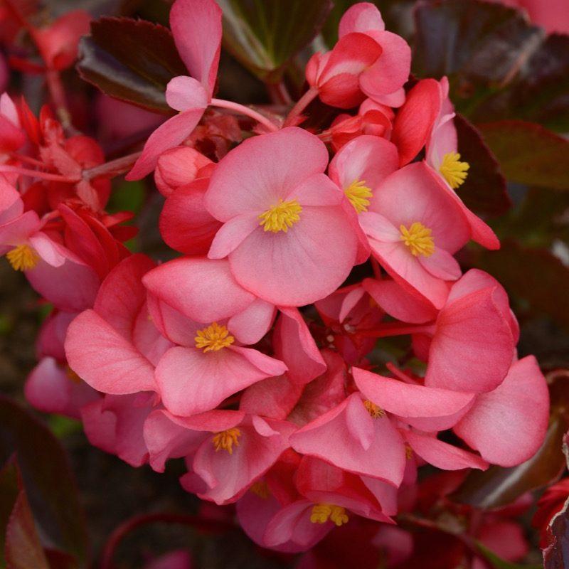 Begonia Megawatt Rose Bronze Leaf Bloom 12145