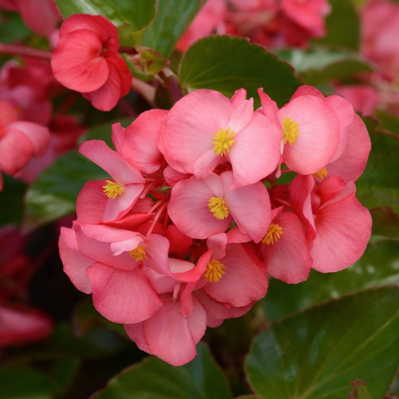 Begonia Megawatt Rose Green Leaf Bloom 12146 200402 165930
