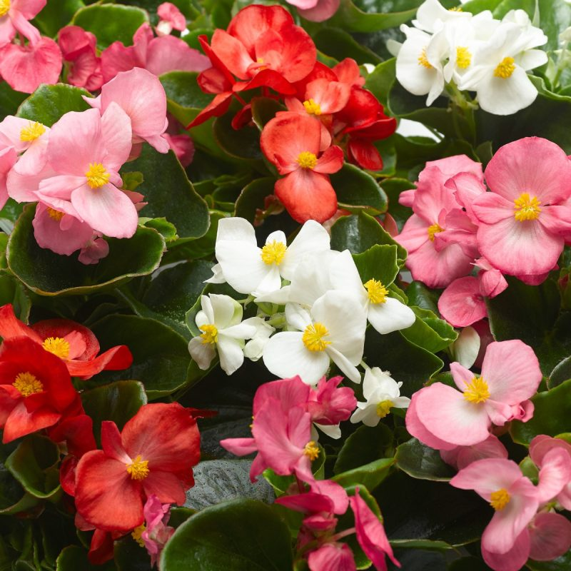 Begonia (Green Leaf) Mix