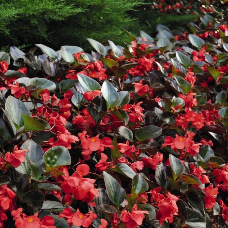 Begonia (Bronze Leaf) Red