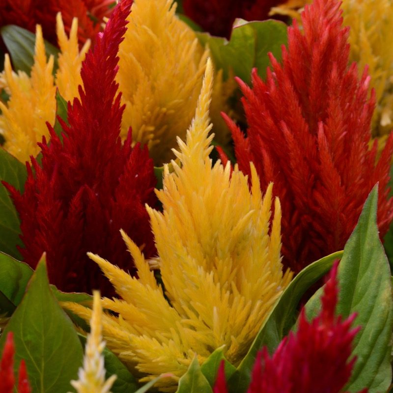 Celosia First Flame Mix Cutflower 174351