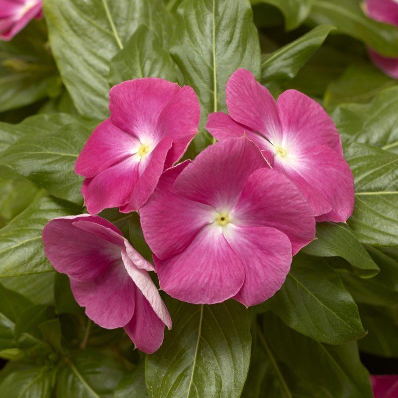Periwinkle (Vinca) Pink Halo