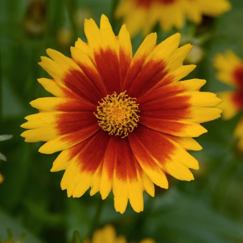 Coreopsis Up Tick Gold Bronze Bloom 13050