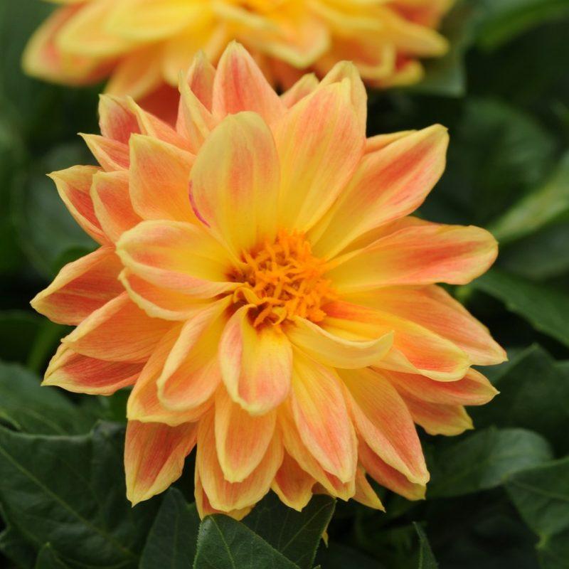 Dahlia Dahlietta Coby Bloom 9589