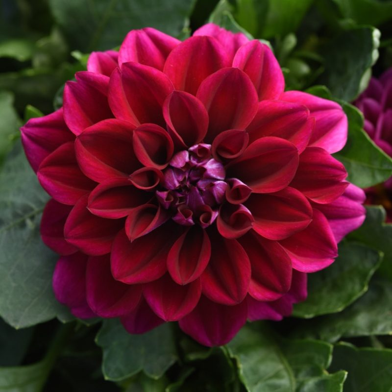 Dahlia Dahlietta Patty Improved Bloom 25227