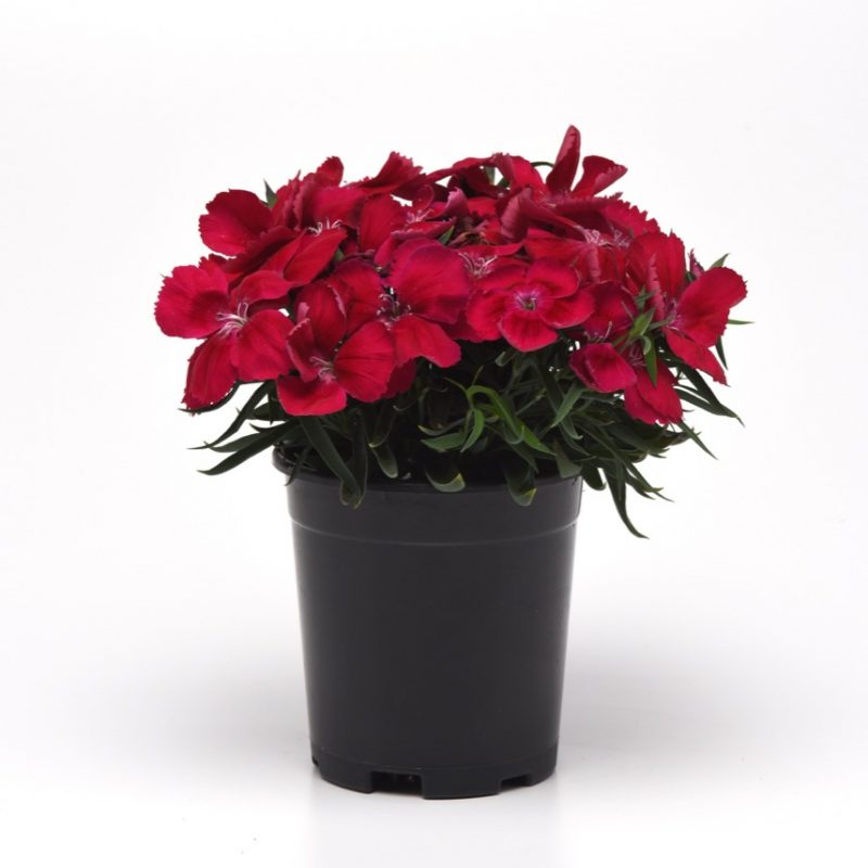 Dianthus Cherry Red