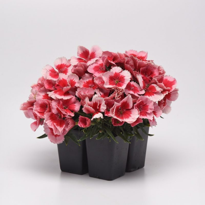 Dianthus Corona Strawberry 4 pack 197121