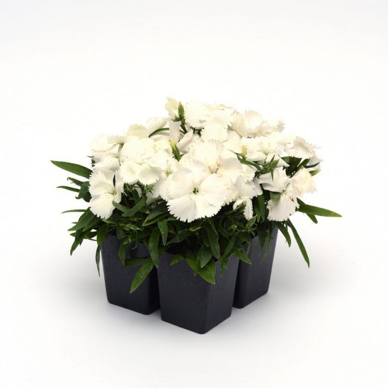 Dianthus Corona White 4 pack 19716