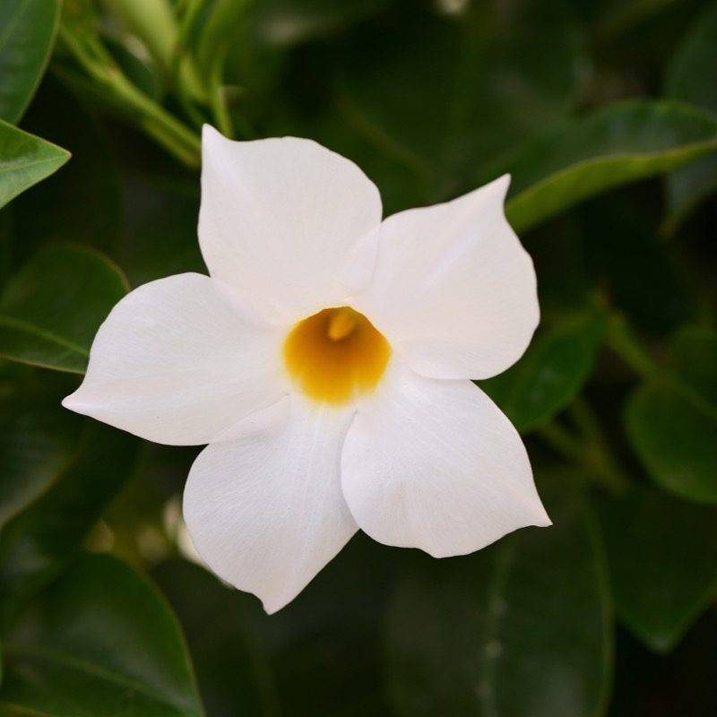 Dipladenia Jade Bush White Bloom 11740