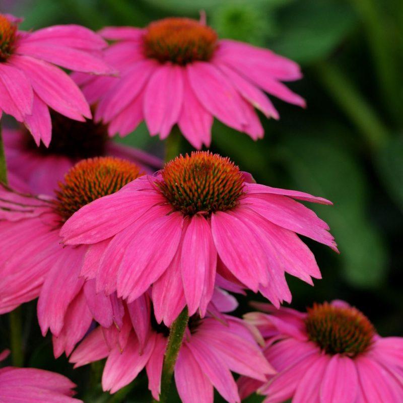 Echinacea (Coneflower) 'Powwow Wildberry'