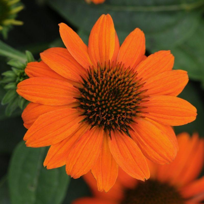 Echinacea Sombrero Adobe Orange Bloom 3498