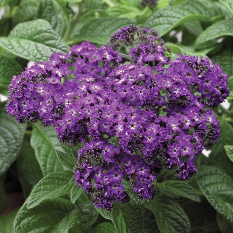Heliotrope Purple