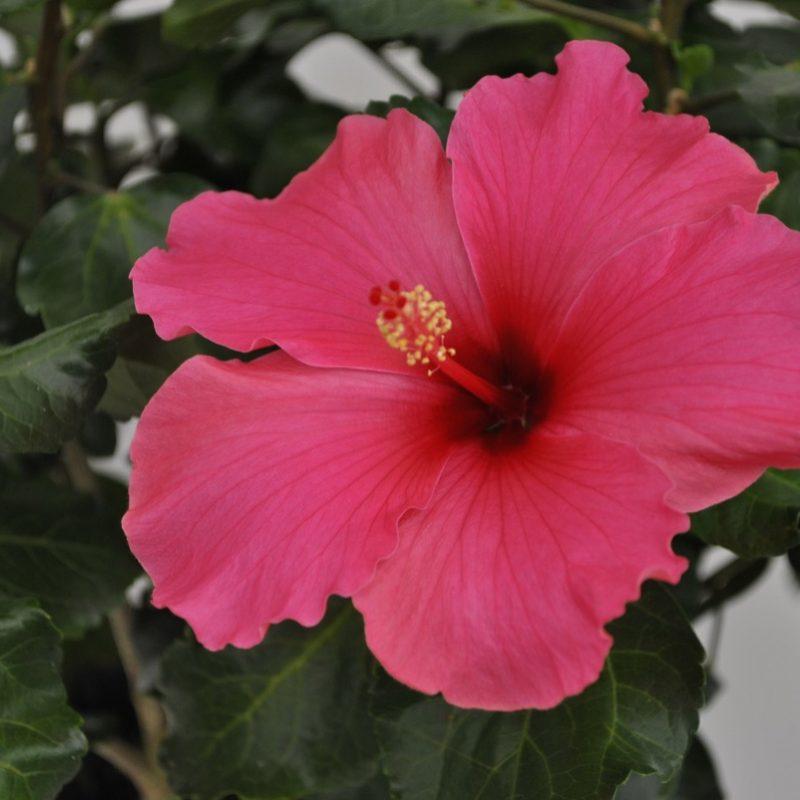 Hibiscus Pink Tortuga Wind cu