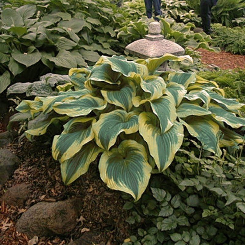 Hosta Aureo Marginata Garden 108791
