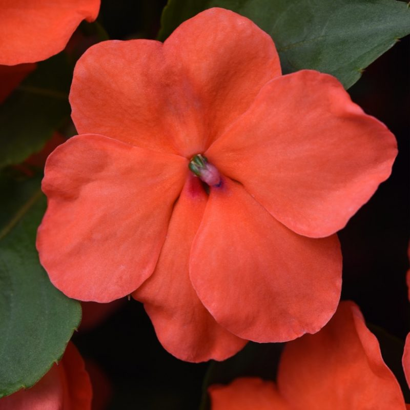 Impatiens Beacon Salmon Bloom 24956