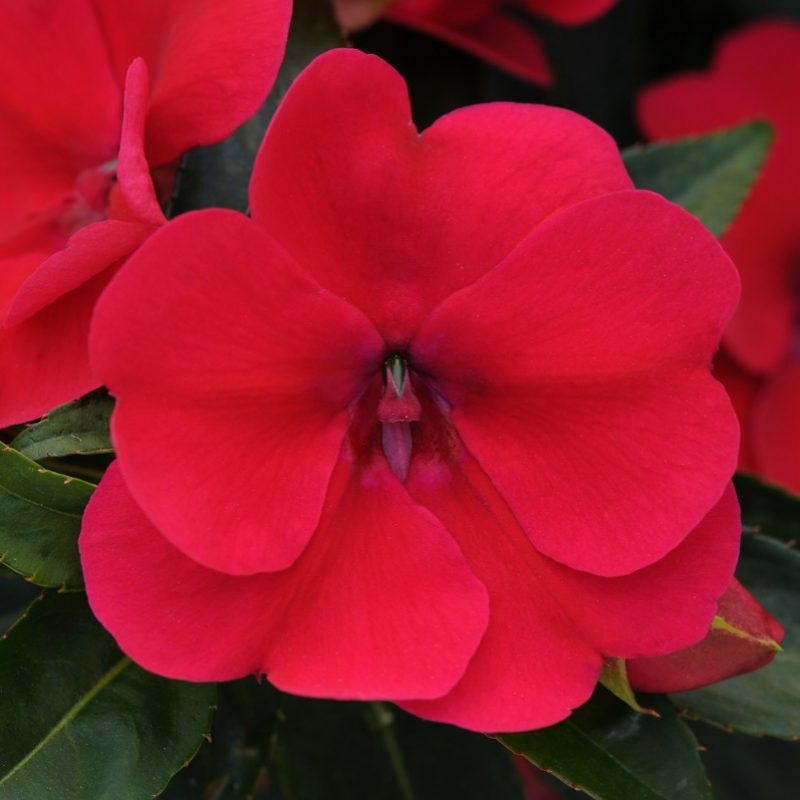 Interspecific Impatiens Bounce Cherry Container 5450
