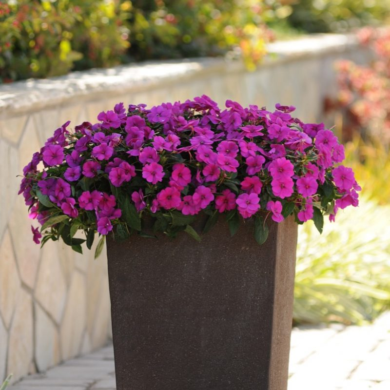Interspecific Impatiens Bounce Violet Container 54531