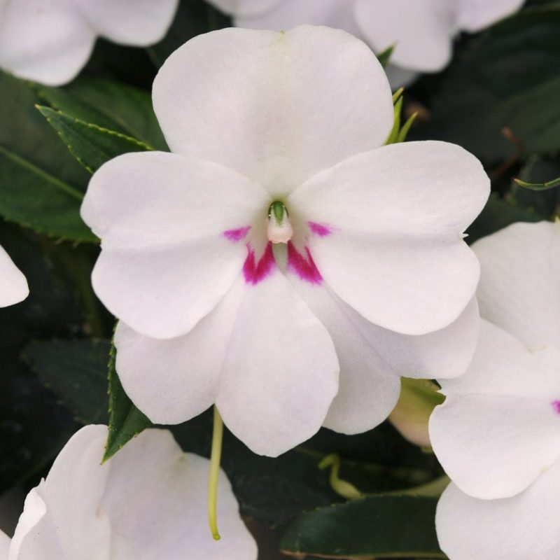 Interspecific Impatiens Bounce White Container 5449