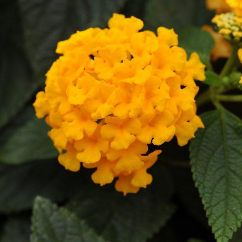 Lantana Lucky Pot Of Gold Bloom 5255
