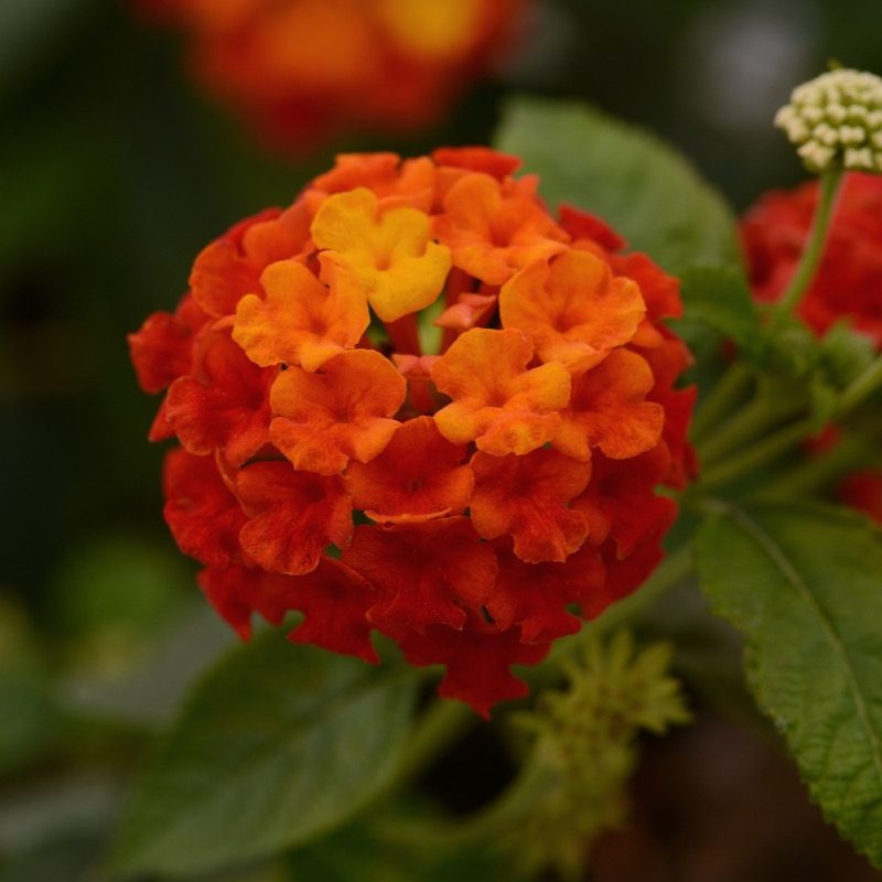 Lantana Lucky Red Bloom 12085