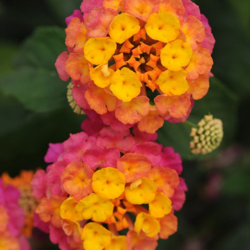 Lantana Lucky Sunrise Rose Bloom 22748