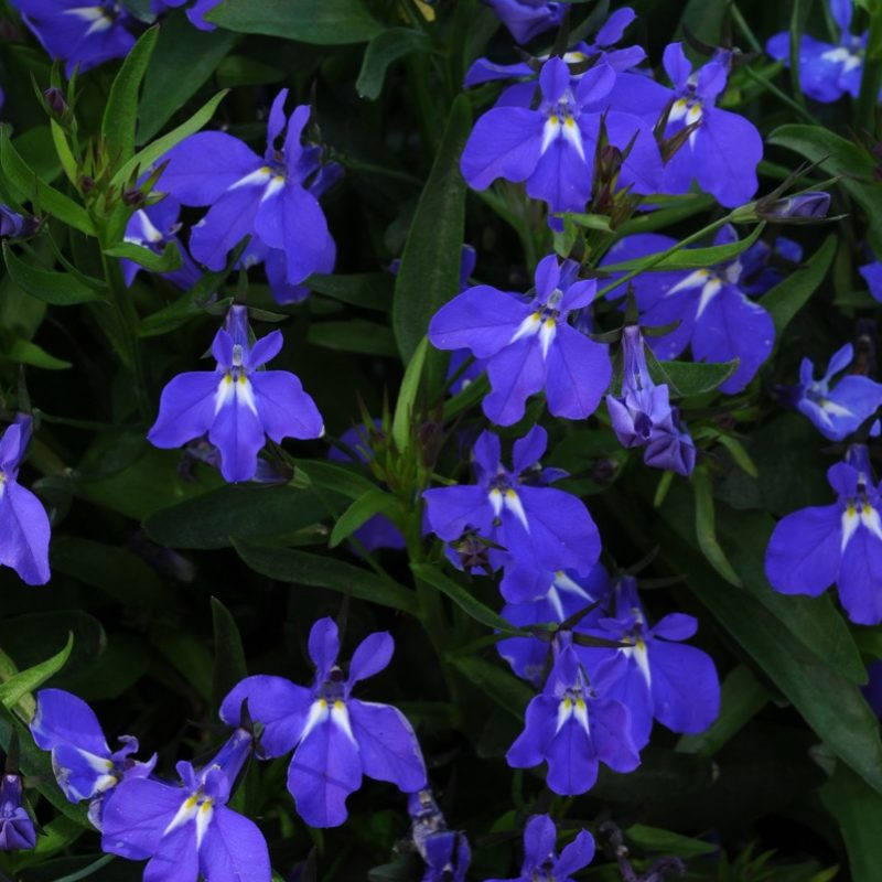 Lobelia Magadi Blue Bloom 5141