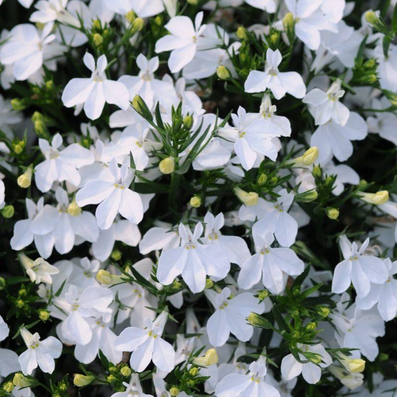 Lobelia Magadi Compact White Bloom 5127
