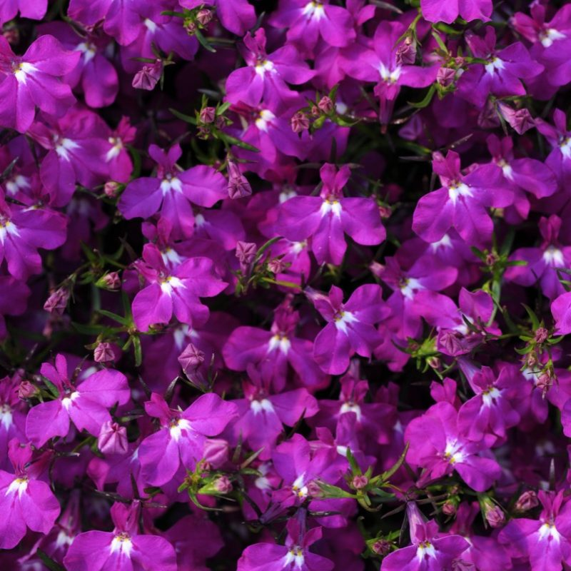 Lobelia Magadi Electric Purple Bloom 5129
