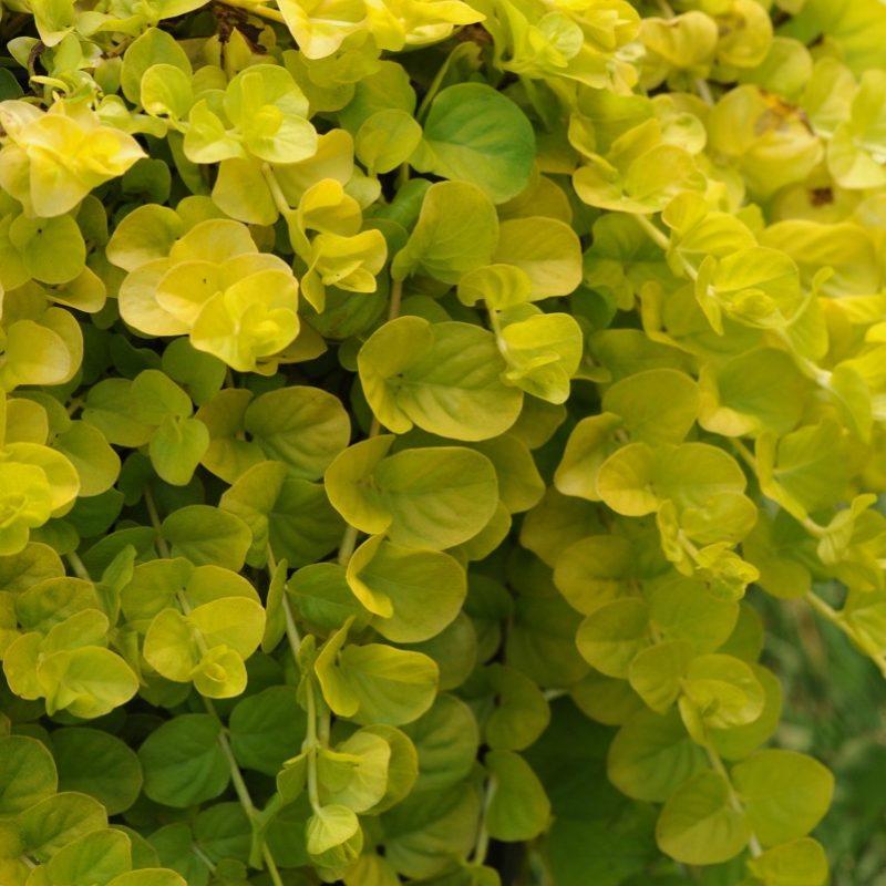Goldilocks (Lysimachia)