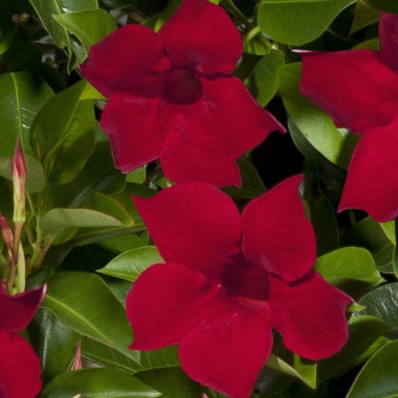 Mandevilla Red