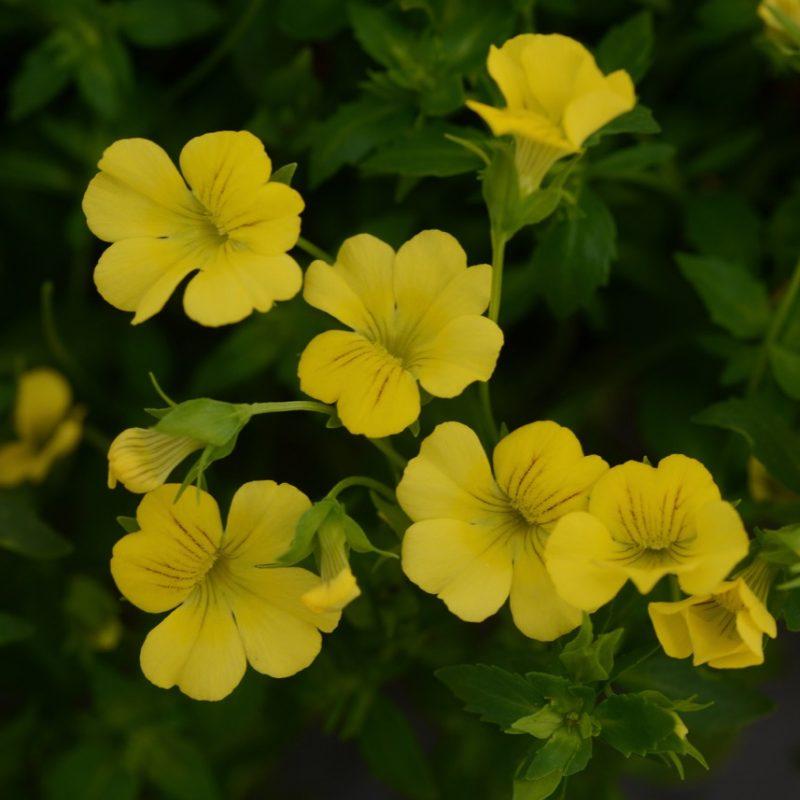 Mecardonia Little Sunshine Bloom 120881