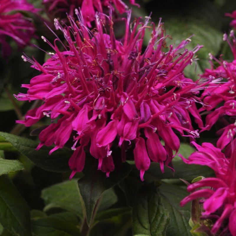 Monarda (Bee Balm) 'Balmy Purple'