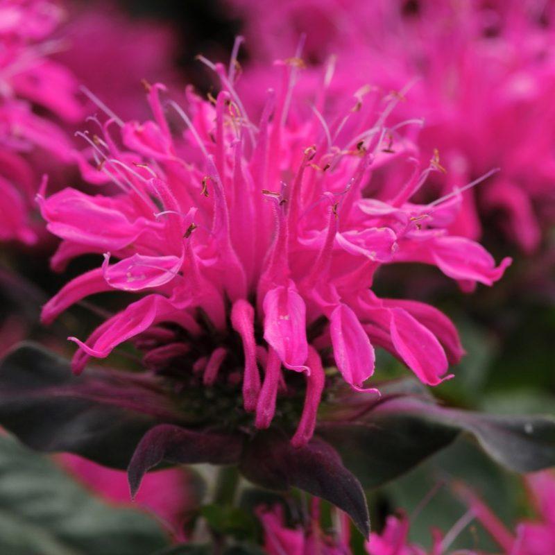 Monarda (Bee Balm) 'Balmy Rose'