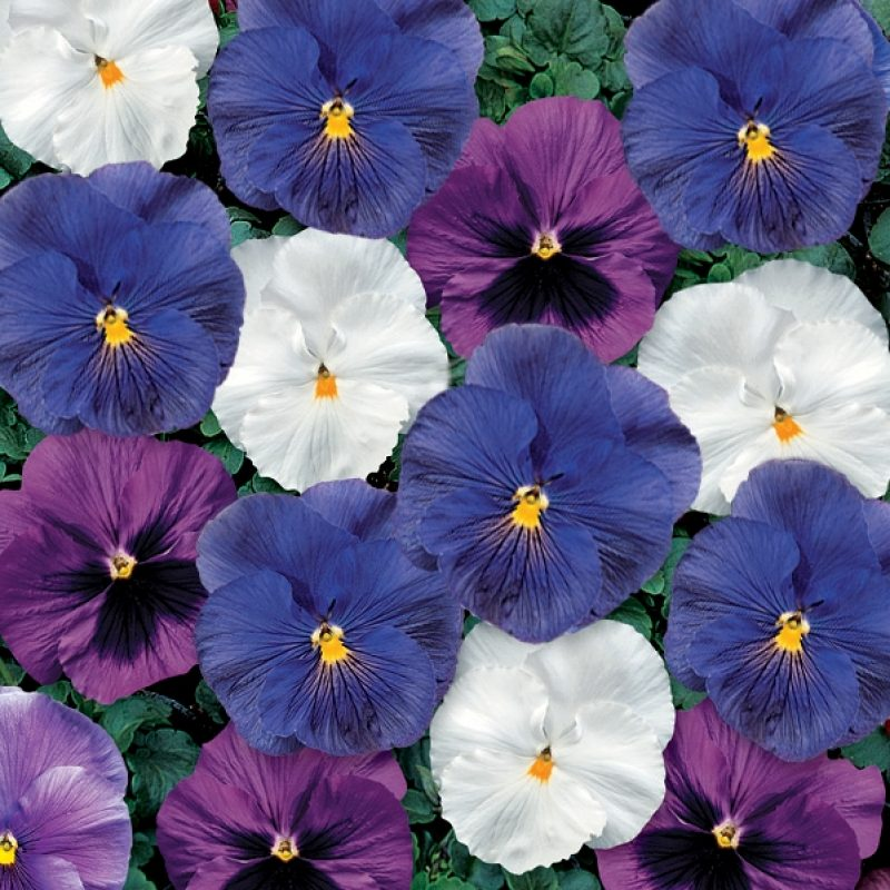 Pansy Coolwater mix