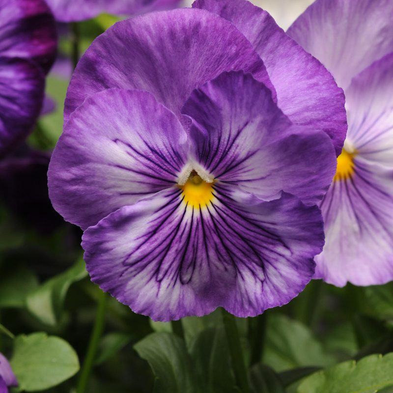 Pansy Lavender Shades
