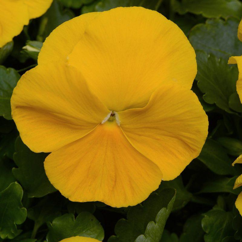 Pansy M Atrix Yellow