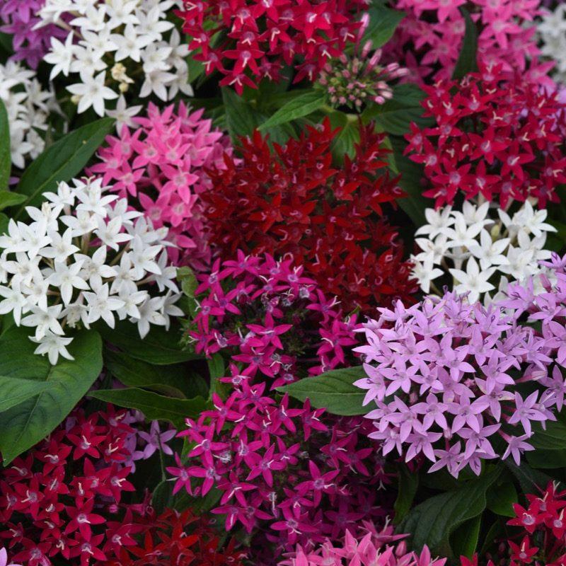Pentas Lucky Star Mix Bloom 22923