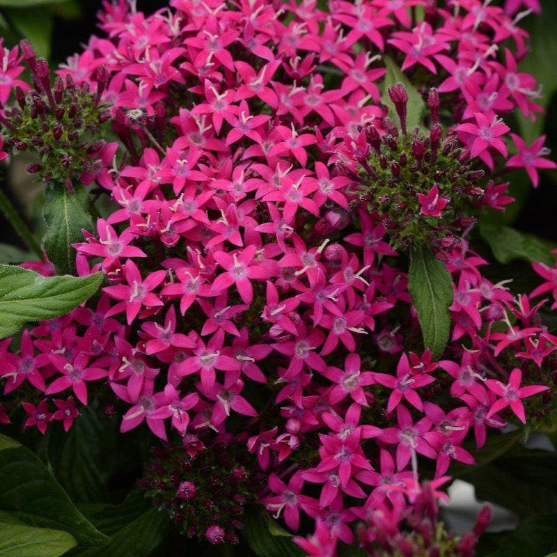 Pentas Lucky Star Violet Bloom 17533