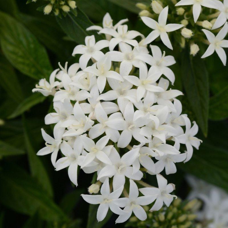 Pentas Lucky Star White Bloom 175341