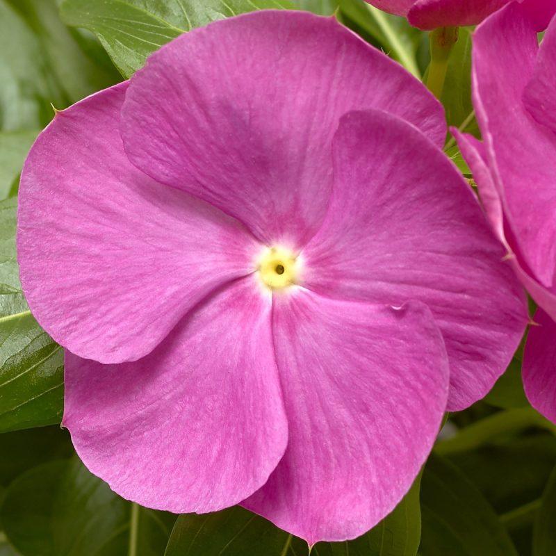 Periwinkle (Vinca) Orchid